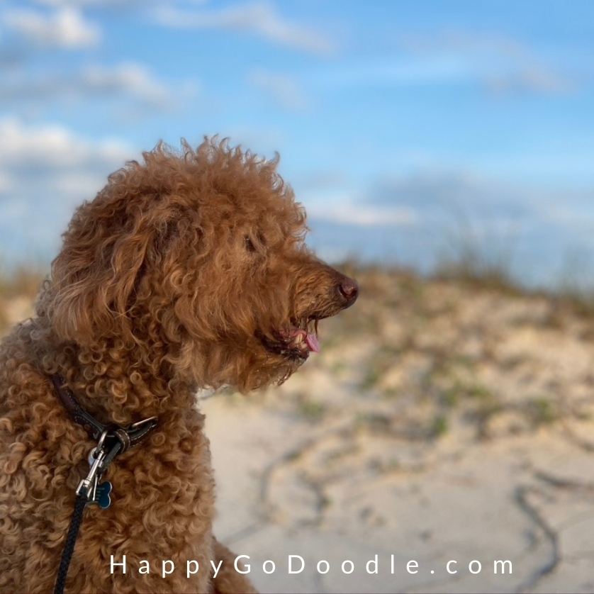 Curly Goldendoodle dog looking over the sand on the beach, photo