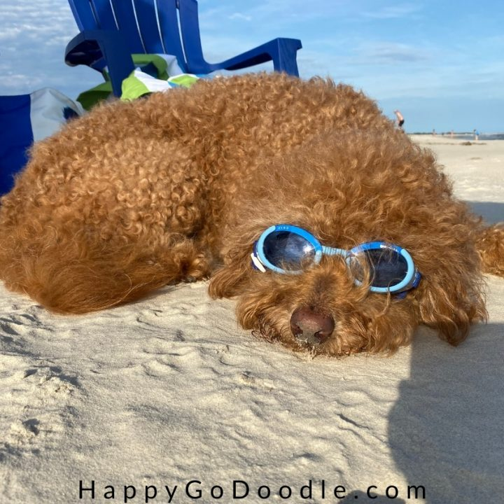 Goldendoodle dog lying on beach and wearing doggles, photo