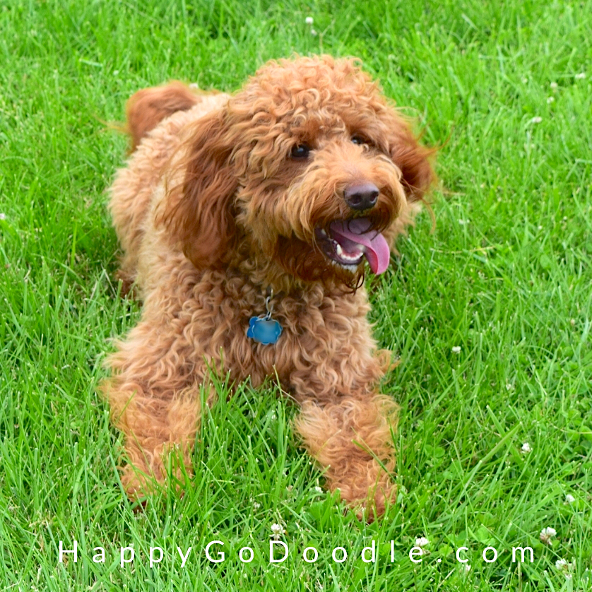 Red Goldendoodle with tongue out sitting on grass, photo