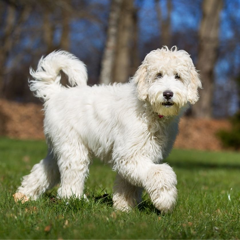 cream-colored Doodle dog walking on green grass, photo