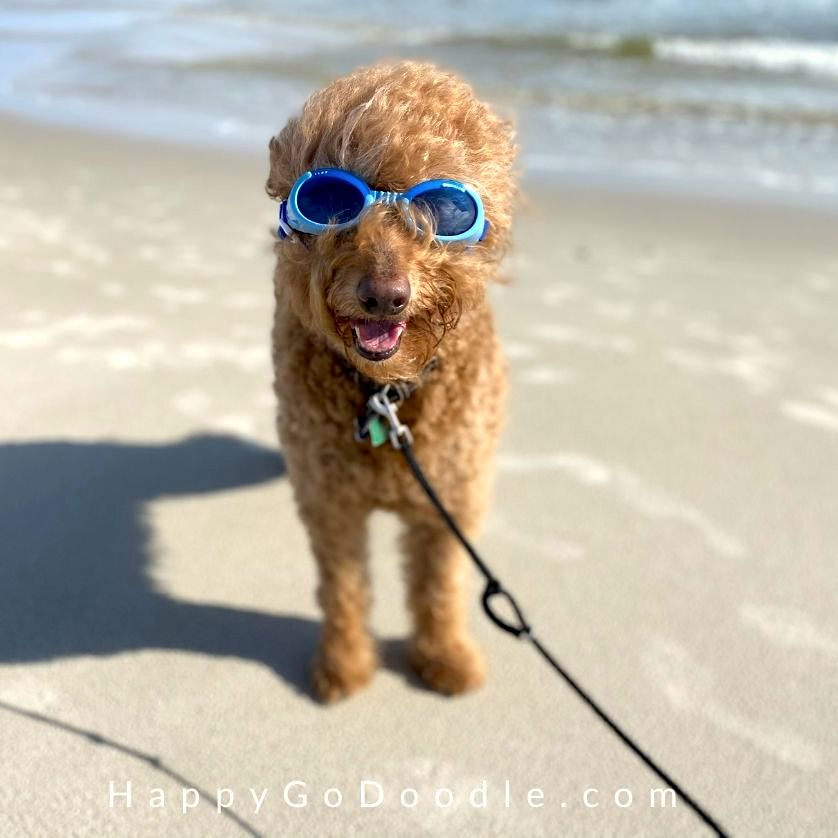 Red Goldendoodle wearing blue Doggles and standing in front of the shoreline at Dauphin Island dog beach, photo
