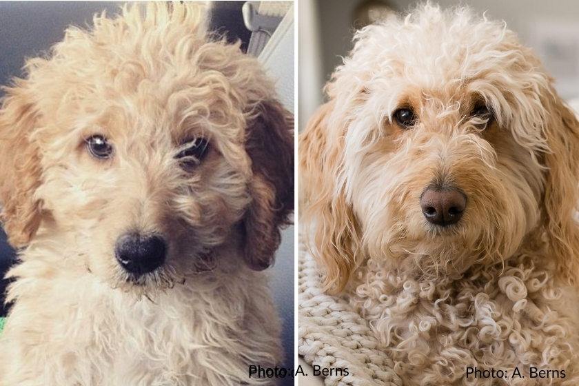 A photo of a cream Goldendoodle as a puppy and the same puppy as an adullt Goldendoodle dog, photo