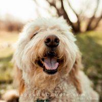 Smiley-faced cream Goldendoodle dog outside, photo