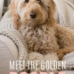 Close up of an adult Goldendoodle's face, photo