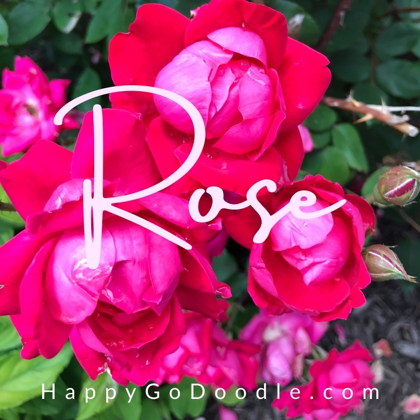 Grouping of vivid pink roses on a bush with the word Rose, photo