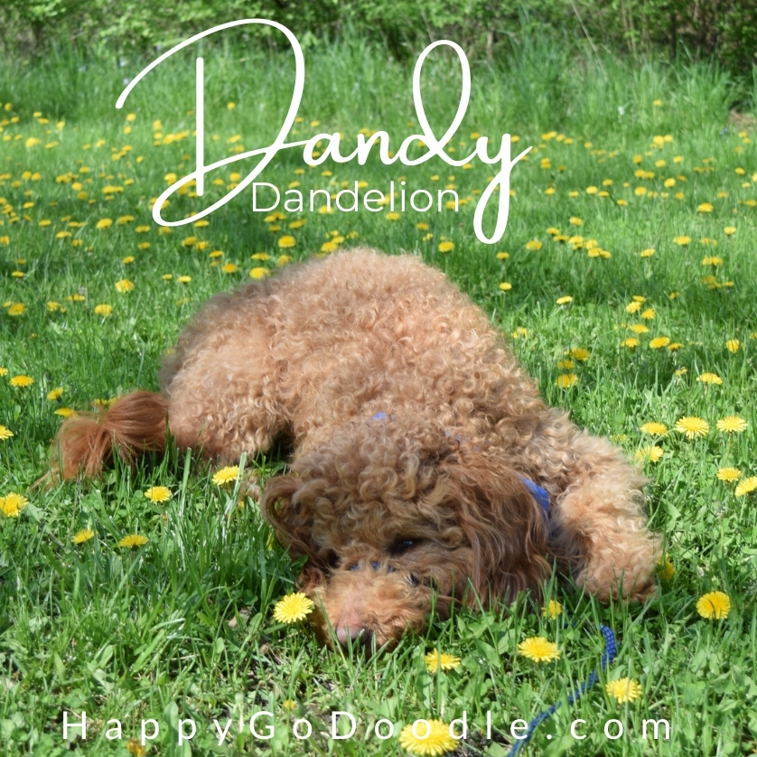 """Happy fluffy red dog lying among a field of yellow dandelions and the name """"Dandy"""" written in script as an idea for a flower dog name, photo"""