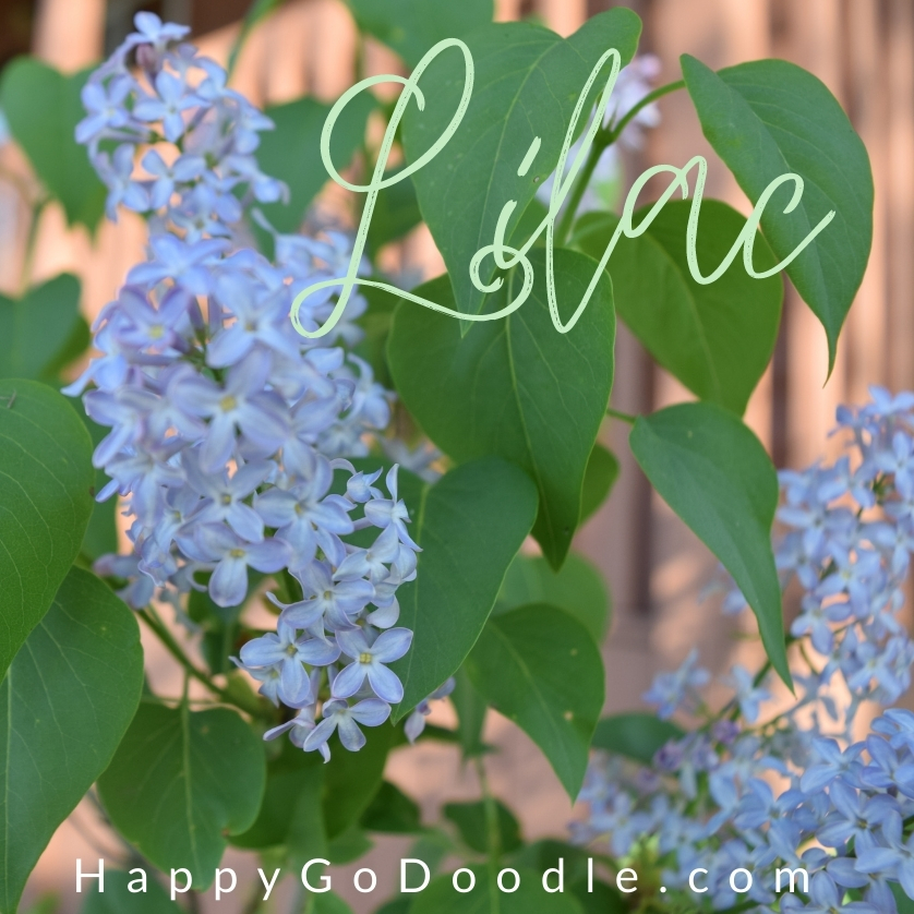 """Soft purple flowers and green leaves of a lilac bush and the word """"lilac"""" written in script as a flower dog name suggestion, photo"""