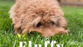 red Goldendoodle cuddled in green grass with the title