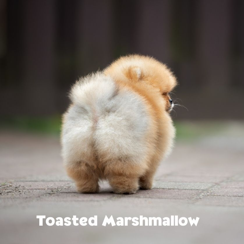 """Fluffy behind of a fluffy white and cream puppy with the name """"Toasted Marshmallow"""", photo"""