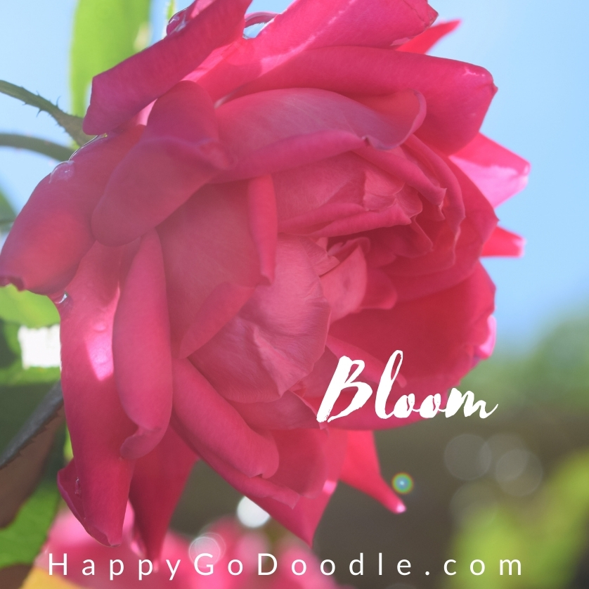 """Close-up of bright pink rose and the name """"'Bloom"""" photo"""