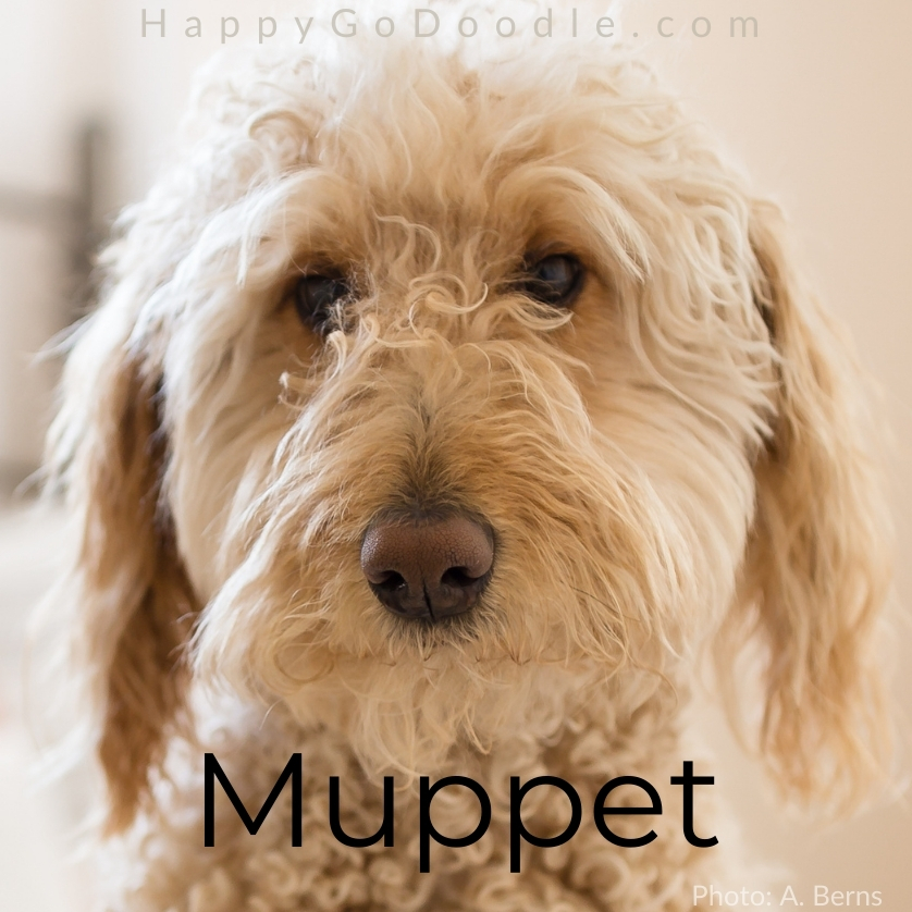Close up of white dog's face and the fluffy dog name of Muppet, photo