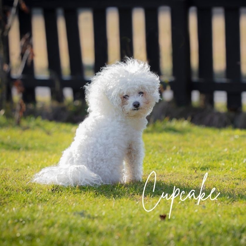 Fluffy, small white dog and the name Cupcake, photo