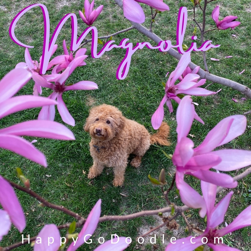 Red dog surrouned by bright pink flowers of a Magnolia bush and the flower name, Magnolia, written in script, photo