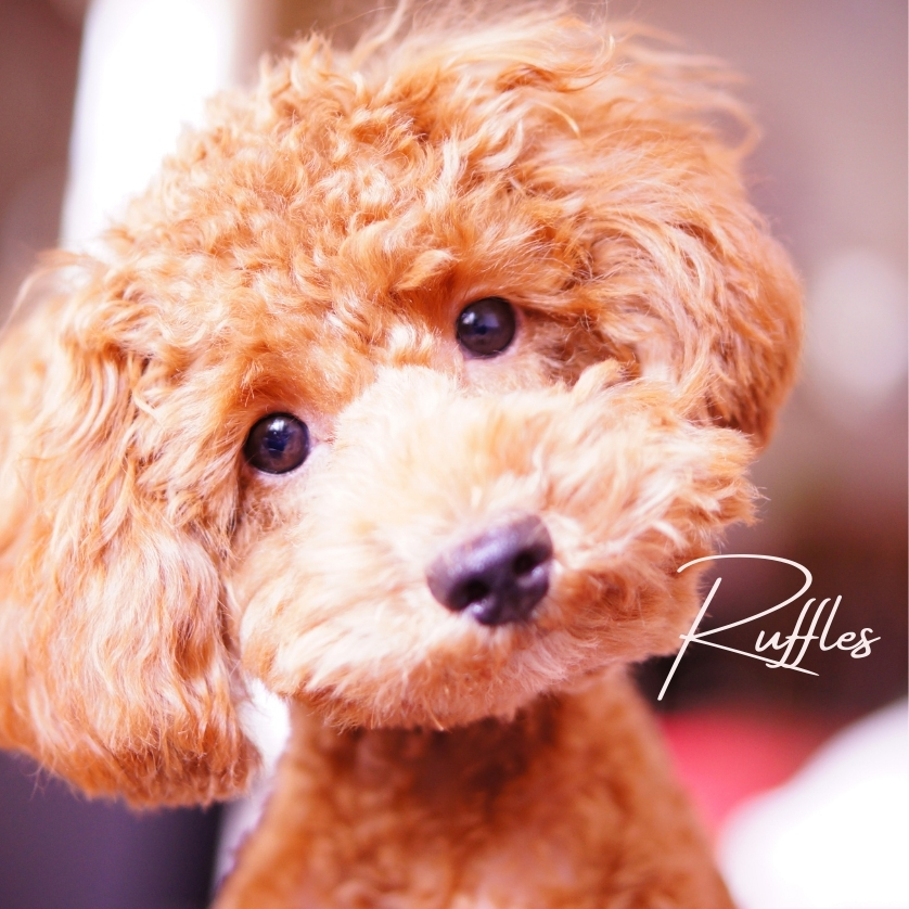 """Quizzical face of a fluffy red puppy and thd name """"Ruffles,"""" photo"""