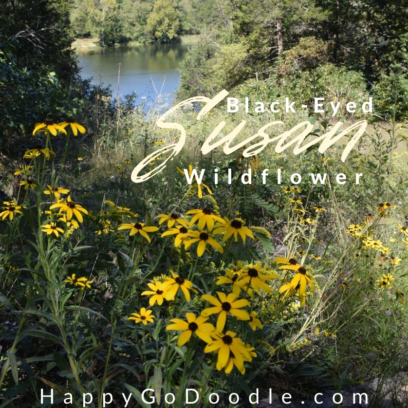 An outdoor scene with yellow black-eyed susan flowers in the foreground and a lake in the background along with the type, Black-Eyed Susan Wildflower, photo