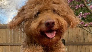 A happy red Goldendoodle outside and looking happy, photo