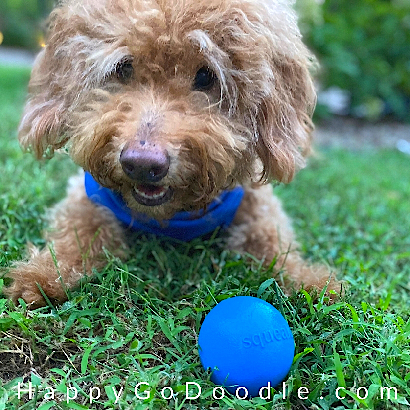 Goldendoodle lying in grass with a blue squeak ball, photo