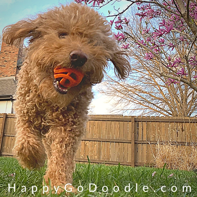 Adult Goldendoodle dog playing with a Chuckit Breathe Right fetch ball on of our best toys for Goldendoodles, photo