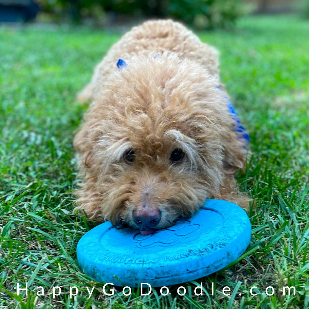 Adult Goldendoodle with her head lying on a blue frisbee, photo