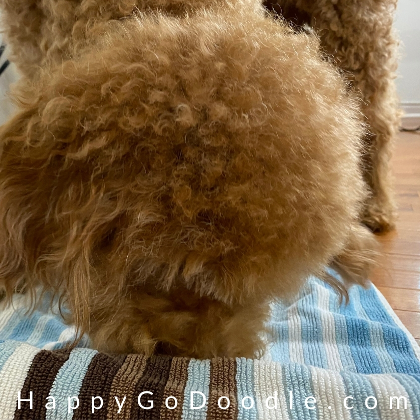 Red dog using nose to find the treats inside a rolled up bath towel, photo