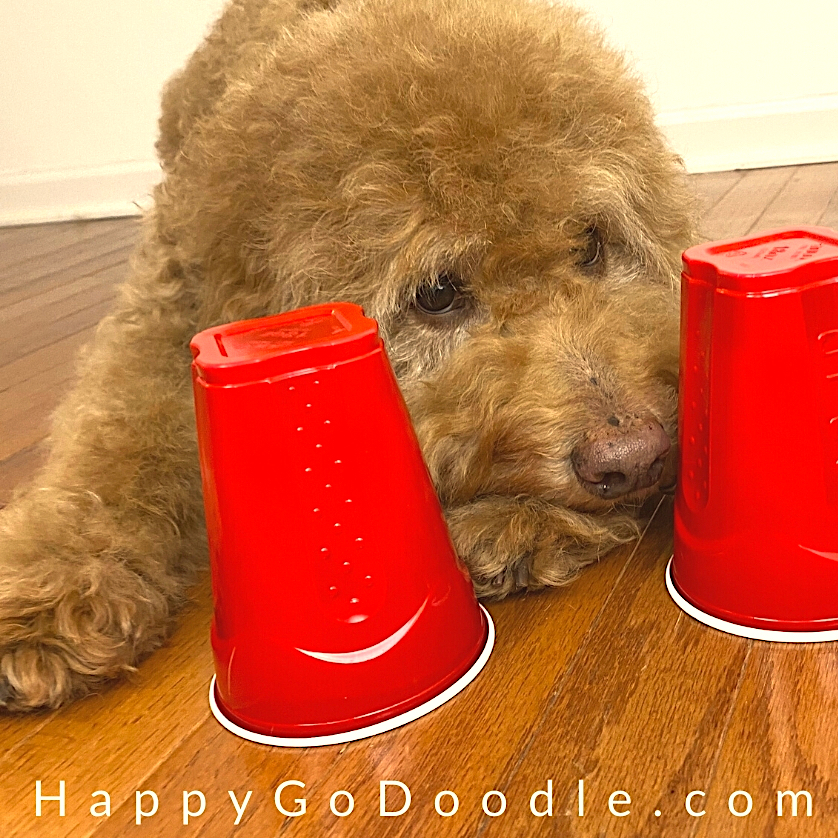 Dog using nose to sniff out treat under solo cup, photo