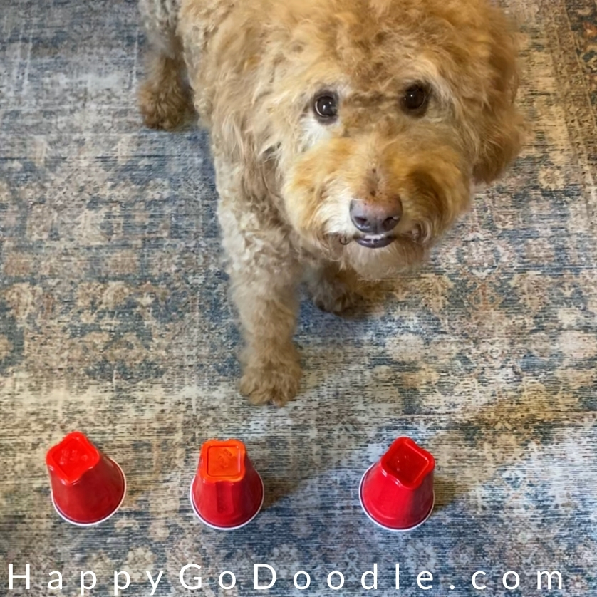 three red solo cups and red Goldendoodle waiting to play a scent game for dogs, photo