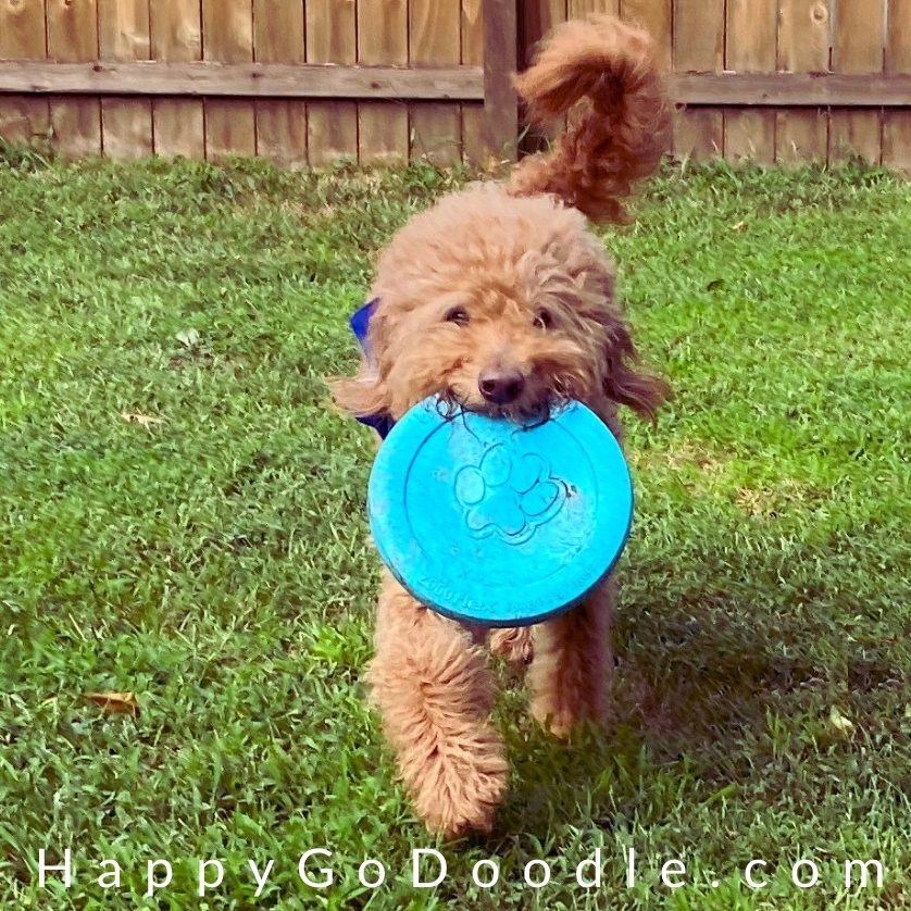 Energetic Goldendoodle retrieving a frisbee, photo