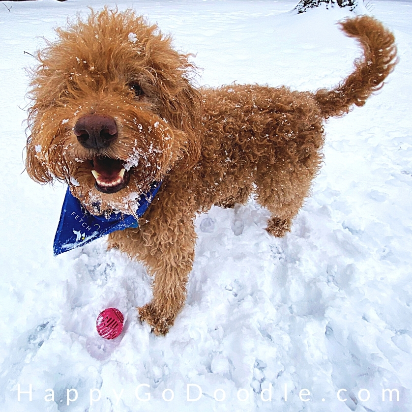 High energy, happy Goldendoodle playing in the snow, photo