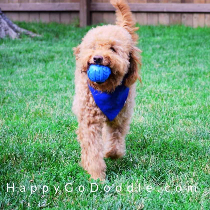 Energetic Goldendoodle playing fetch with a blue dog toy, photo