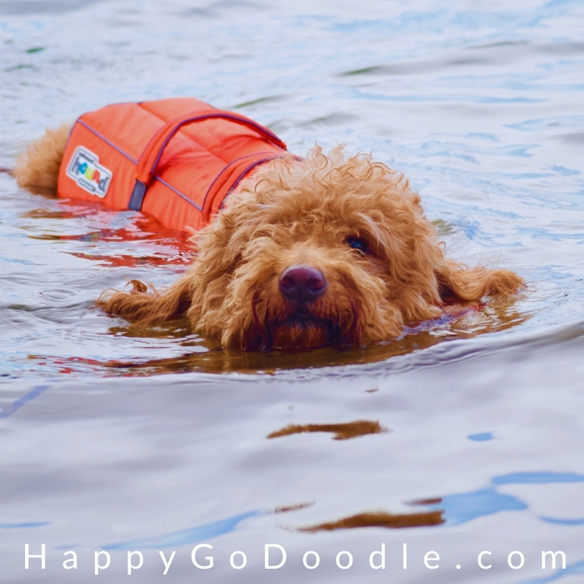 Red Goldendoodle wearing a dog life vest getting energy levels out by swimming, photo