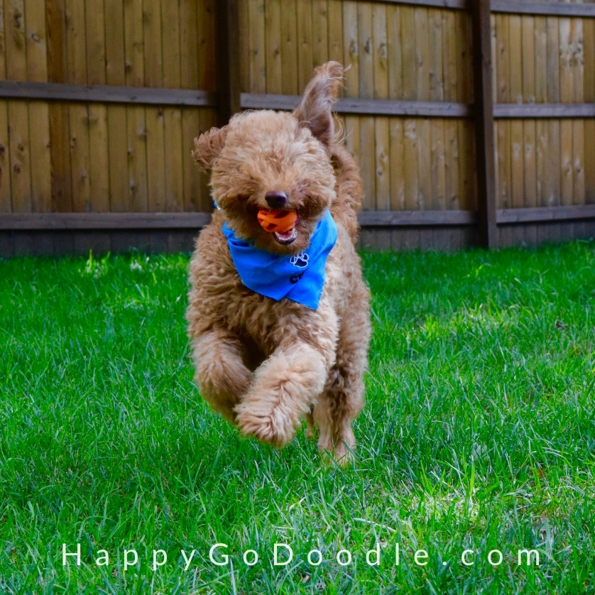 Adult Goldendoodle running with a fetch ball in her mouth, photo