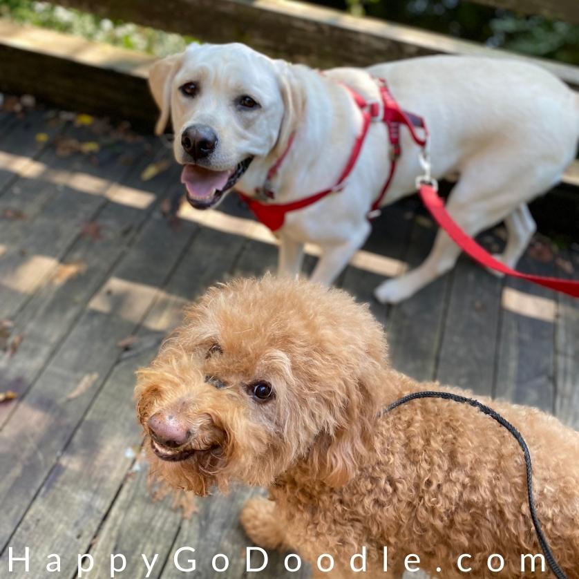 Goldendoodle dog and Labrador Retriever dog walking together, photo