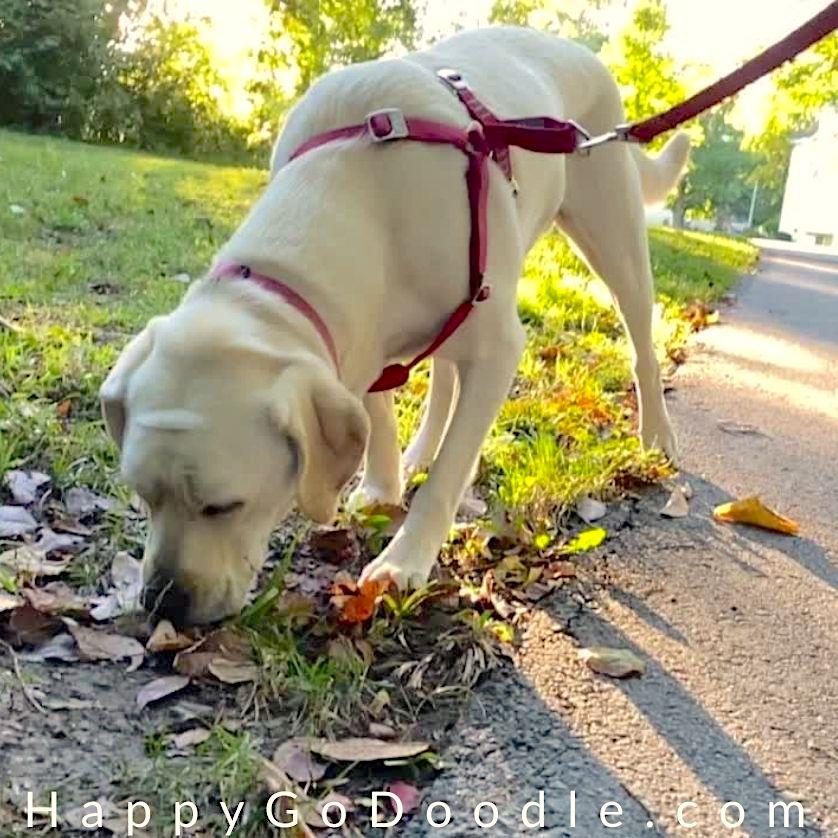 Labrador Retriever on a sniffy walk with nose to ground, photo
